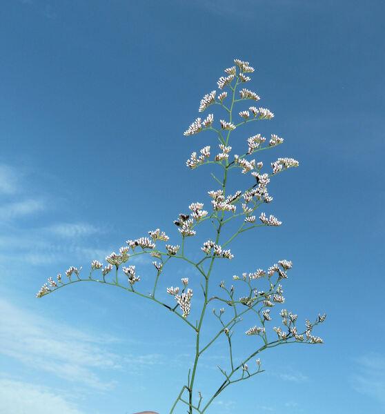 Limonium tuberculatum (Boiss.) Kuntze