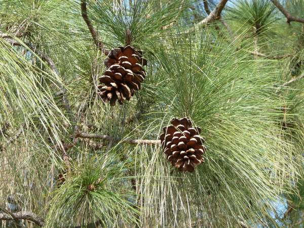 Pinus canariensis C.Sm. ex DC.