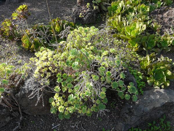 Aeonium castello-paivae Bolle