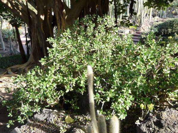 Crassula ovata (Mill.) Druce
