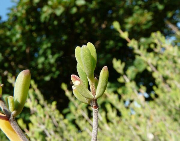Drosanthemum bicolor L. Bolus