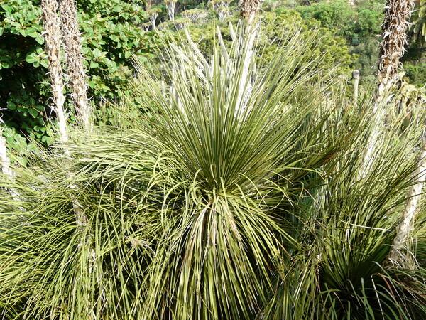 Dasylirion serratifolium (Karw. ex Schult. & Schult.f.) Zucc.