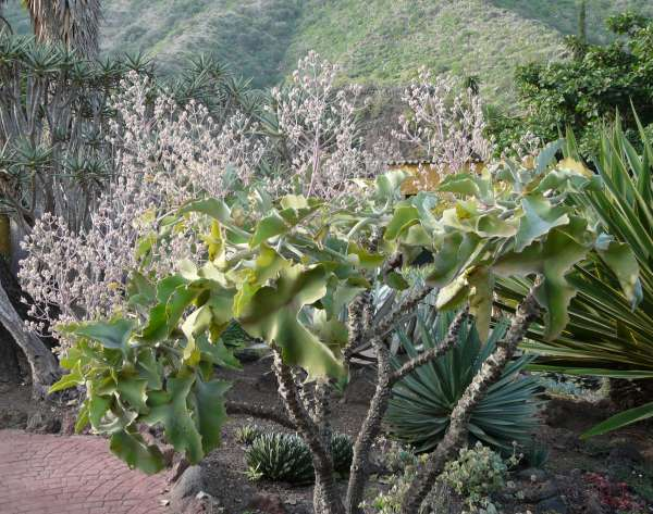 Kalanchoë beharensis Drake