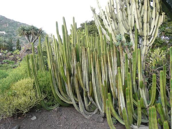 Euphorbia canariensis L.