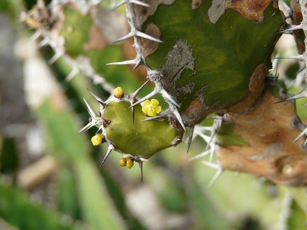 Euphorbia pseudocactus A. Berger