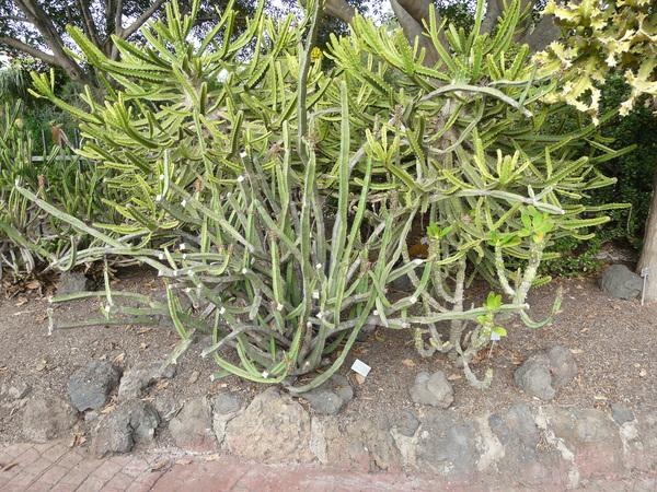 Euphorbia quadrangularis Pax