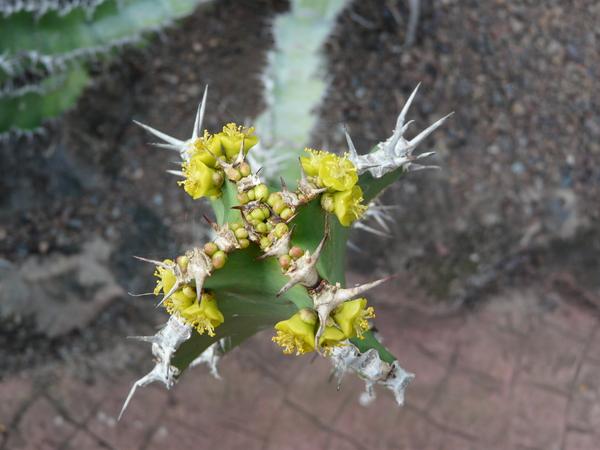 Euphorbia cactus Ehrenb. ex Boiss.