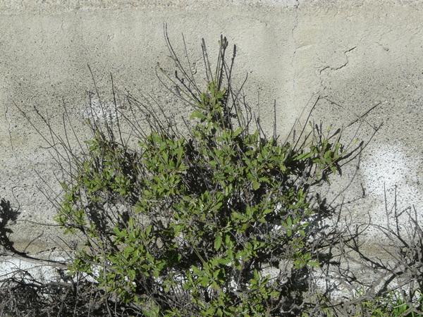 Lavandula canariensis (L.) Mill.