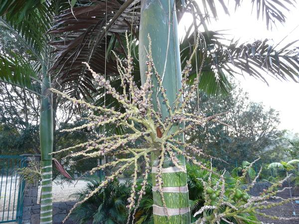 Chambeyronia macrocarpa (Brongn.) Vieill. ex Becc.