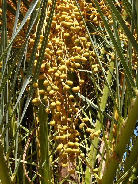 Phoenix canariensis H.Wildpret