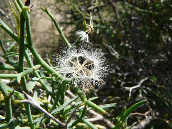Launaea arborescens (Batt.) Murb.