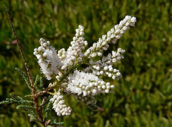 Tamarix canariensis Willd.