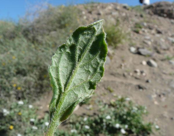 Heliotropium ramosissimum (Lehm.) DC.