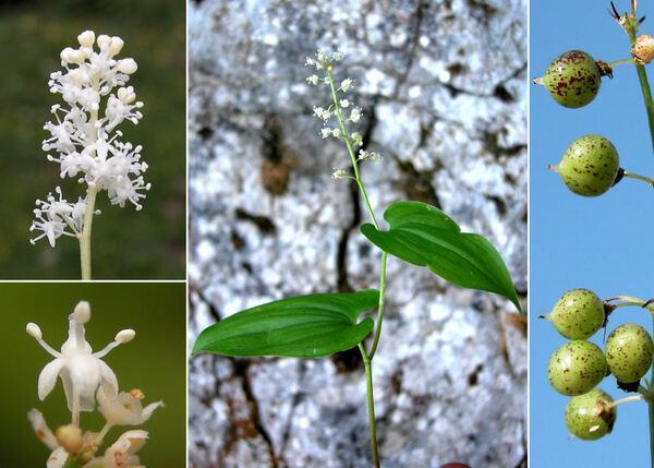 Maianthemum bifolium (L.) F.W.Schmidt