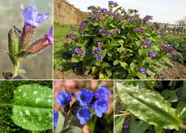Pulmonaria officinalis L. subsp. officinalis