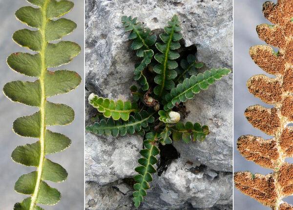 Asplenium ceterach L. subsp. ceterach