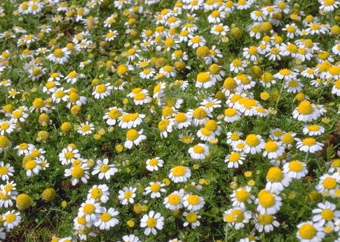 Anthemis secundiramea Biv. subsp. intermedia (Guss.) R. Fern.