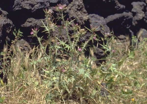 Carduus pycnocephalus L. subsp. marmoratus (Boiss. & Heldr.) P.H.Davis