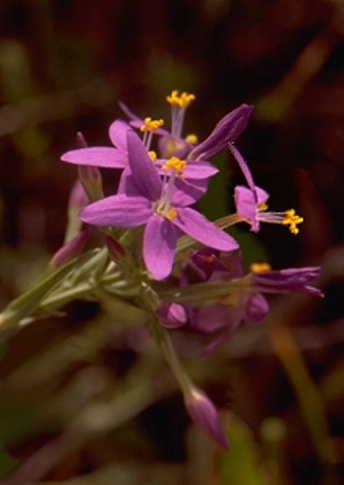 Centaurium grandiflorum (Pers.) Ronniger subsp. grandiflorum