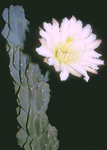 Cereus peruvianus (L.) Miller