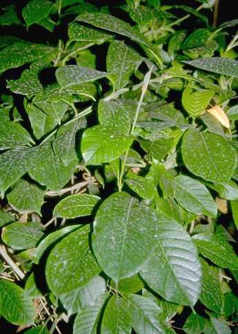 Beaumontia grandiflora Wall.