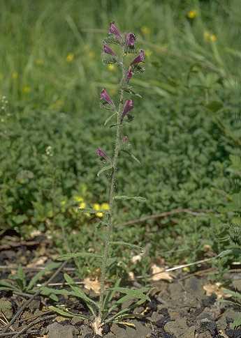 Echium vulgare L. subsp. pustulatum (Sm.) Em.Schmid & Gams