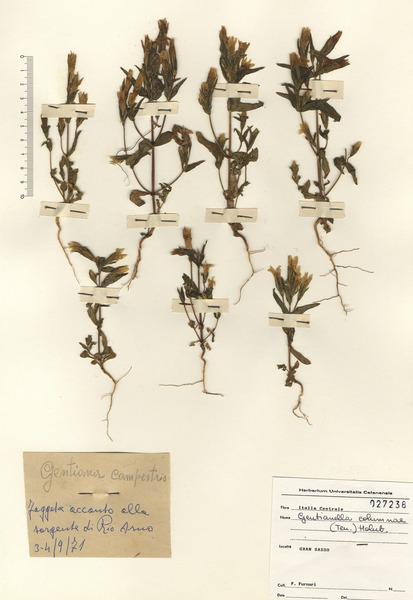 Gentianella columnae (Ten.) Holub