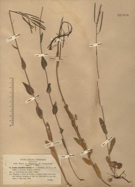 Fourraea alpina (L.) Greuter & Burdet
