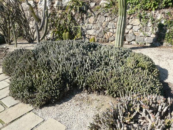 Euphorbia resinifera Berg.
