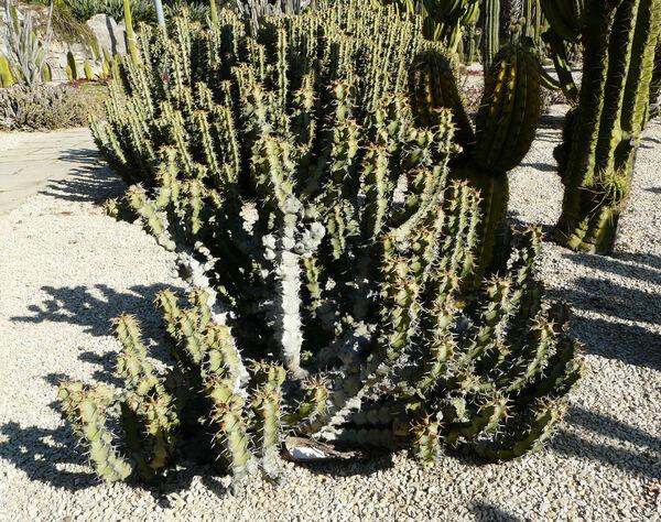 Euphorbia coerulescens Haw.