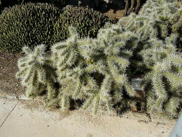 Cylindropuntia rosea (DC.) Backeb.