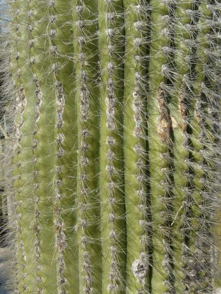 Weberbauerocereus johnsonii F. Ritter