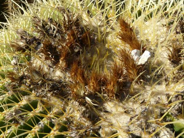 Echinocactus grusonii Hildm.