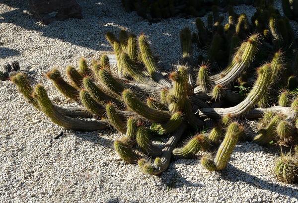Echinopsis strigosa (Salm-Dyck) Friedrich & G.D.Rowley