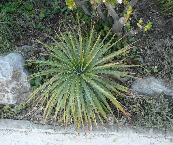 Hechtia texensis S. Wats.