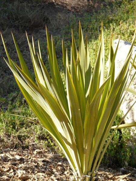 Yucca recurvifolia Salisb. 'variegata'