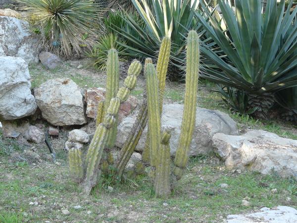 Echinopsis terscheckii (Parmentier) Friedrich & G. D. Rowley