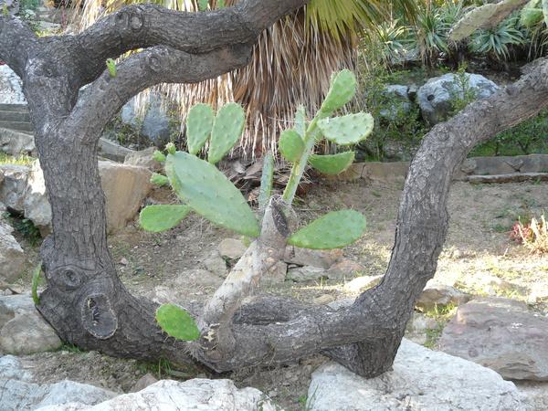 Opuntia bergeriana F.A.C.Weber ex A.Berger