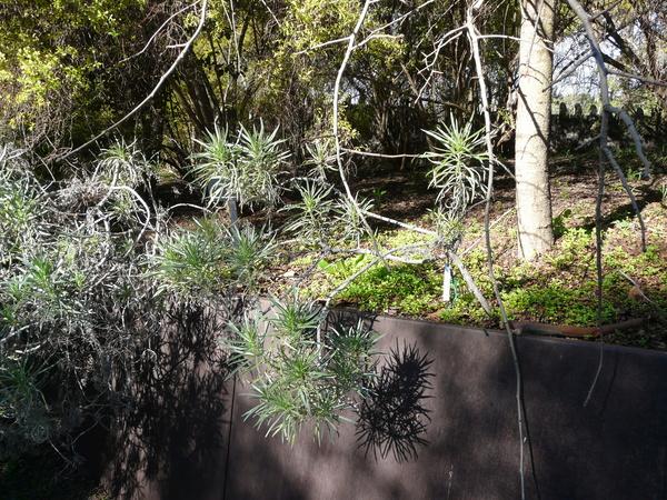 Echium aculeatum Poir.
