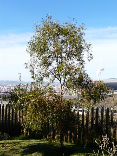 Eucalyptus salmonophloia F. Muell.