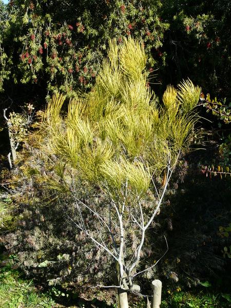 Hakea bucculenta C.A. Gardner