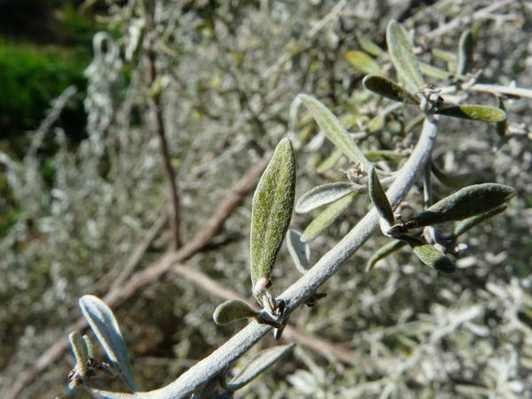 Olearia axillaris (DC.) Benth.