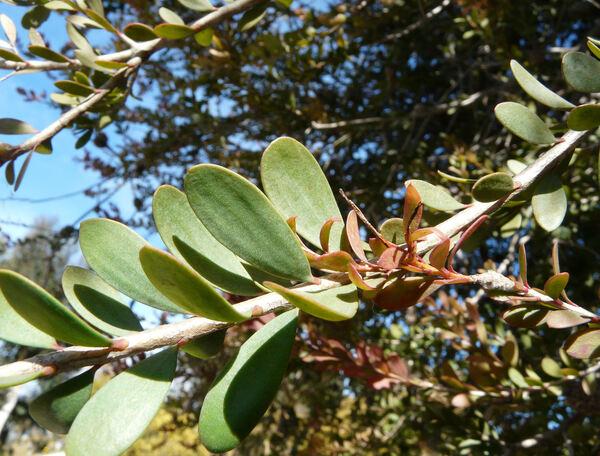 Melaleuca nesophila F. Muell.