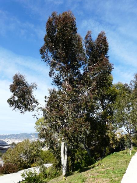 Eucalyptus diversicolor F.Muell.