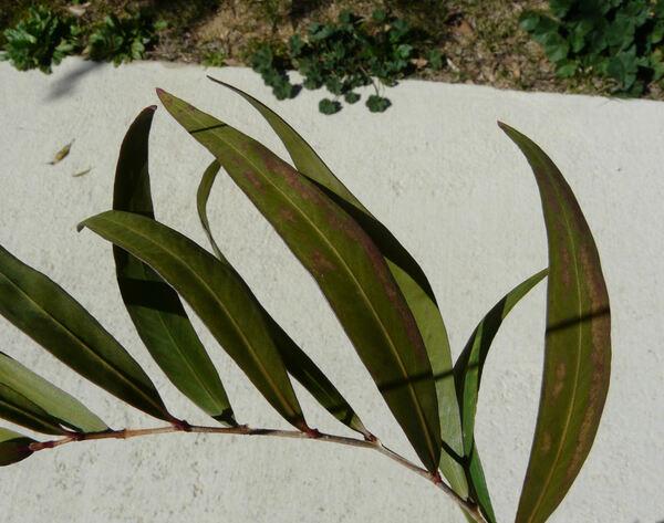 Agonis flexuosa (Willd.) Sweet