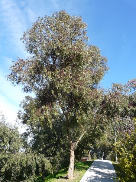 Eucalyptus leucoxylon F. Muell. 'Rosea'