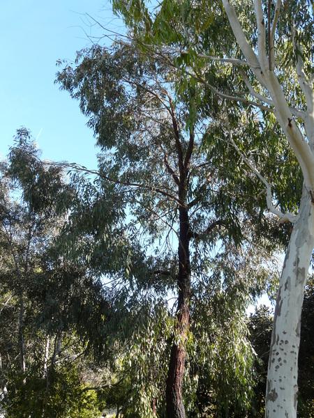 Eucalyptus sideroxylon A.Cunn. ex Woolls