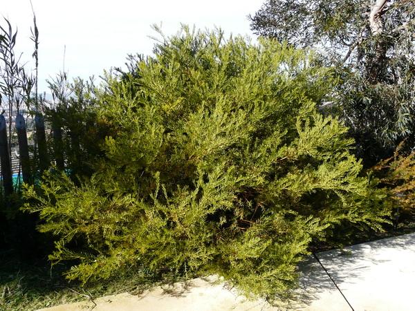 Acacia anceps DC.