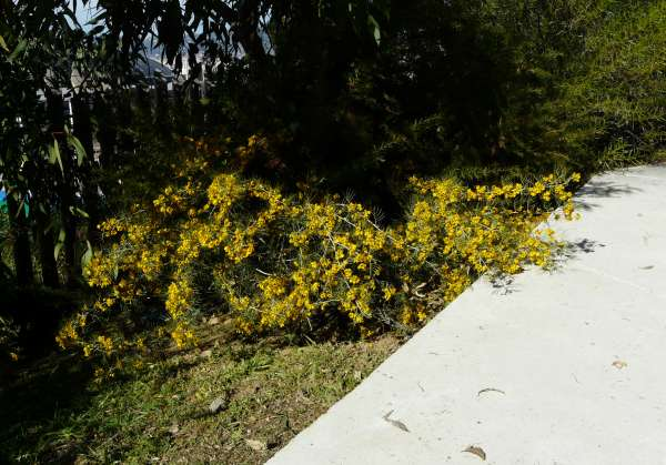Senna artemisioides (Gaudich. ex DC.) Randell
