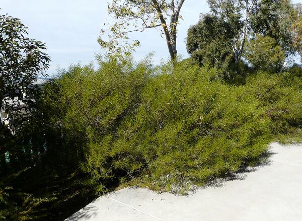 Acacia dodonaeifolia (Pers.) Balb.